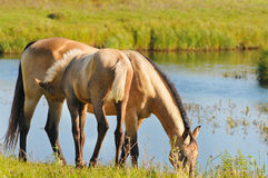 Mare and foal near lake Stock Photos