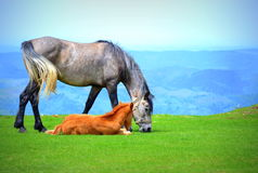 Mare and foal pastoral scene Royalty Free Stock Photos
