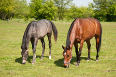 Mare and foal in the pasture Stock Images