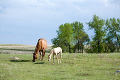 Mare and foal in pasture Stock Photography