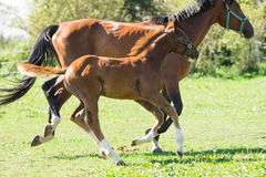 Mare and foal Stock Photography