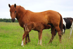 Mare with foal on the pasture. Filly foal feeds on the pasture Royalty Free Stock Images