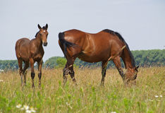 Mare with a foal on a pasture Stock Photography