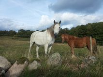 Mare with foal in the pasture. Royalty Free Stock Photos