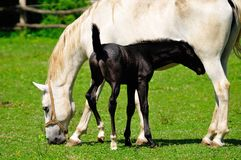 Mare and foal on the pasture Stock Photography