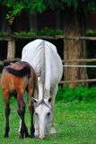 Mare and foal on the pasture Royalty Free Stock Image