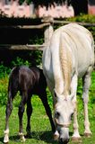 Mare and foal on the pasture Royalty Free Stock Images