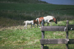 Mare and foal on pasture Stock Photos