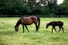 Mare with foal on the pasture Royalty Free Stock Photo