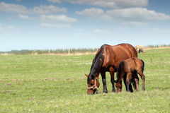 Mare and foal on pasture Stock Photo