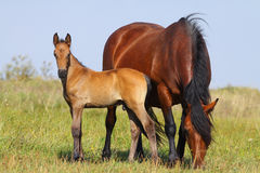 Mare and foal. On a pasture together stock photos
