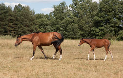 Mare and foal on pasture. Mare and foal walking in a row on the meadow stock images