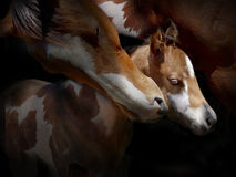 Mare and foal. A mare and foal portrait royalty free stock images