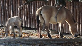 Mare with foal. Przewalski`s horse also called the Mongolian wild horse