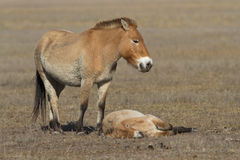 Mare and foal Przewalski's horse in the steppe Royalty Free Stock Images