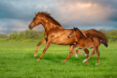 Mare with foal. Red mare with colt run on green grass against beautiful sky royalty free stock photography