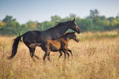 Mare with foal. Run on autumn field royalty free stock photography