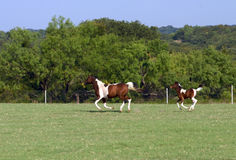 Mare and foal running. Pinto mare and foal running in a pasture royalty free stock image