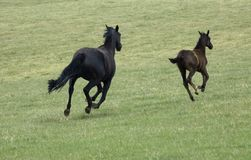 Mare and Foal Running. In a green grass field stock photo