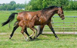 Mare and foal running Royalty Free Stock Photos