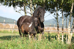 Mare with foal running in autumn Stock Photography