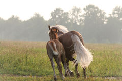 Mare and foal running away Royalty Free Stock Photo