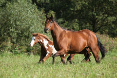 Mare with foal running in freedom Stock Image