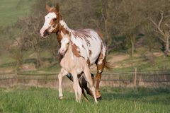 Mare with foal running Royalty Free Stock Photos