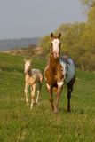 Mare with foal running Stock Photo
