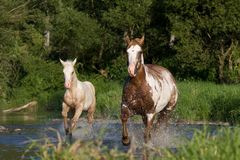 Mare with foal running Royalty Free Stock Photography