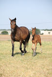 Mare with foal running Stock Photos