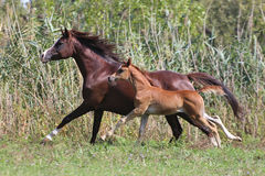 Mare and foal running on pasture Stock Images