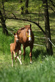 Mare with foal running Stock Photography