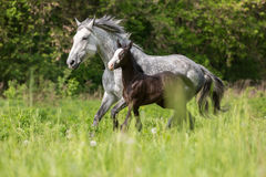 Mare with a foal. Royalty Free Stock Photos