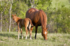 Mare and Foal. Sorrel Quarterhorse Mare and Foal grassing together in meadow Royalty Free Stock Photos