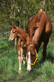 Mare with foal in spring