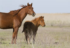 Mare and foal in the spring steppe. Stock Photography