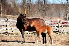 Mare and foal in Springtime Stock Images