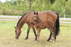 Mare with foal standing in a meadow. Mare with 1 week old foal standing in a meadow Royalty Free Stock Photography