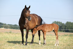 Mare with a foal standing on pasturage Royalty Free Stock Images