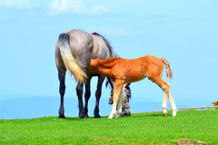 Mare and foal sucking Royalty Free Stock Images