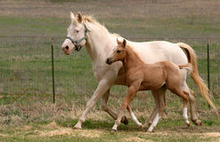 Mare & Foal Trotting. Perlino cream colored quarter horse mare wearing green halter trotting with palomino colt at side, legs moving in unison, green pasture and Stock Photo