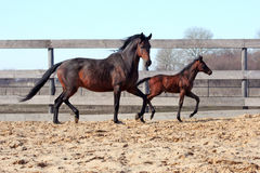 Mare with foal Royalty Free Stock Photography