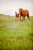 Mare and foal. Vertical image of a quarter horse mare and her foal in a pasture stock image