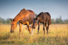 Mare with foal. Walk and grazing on autumn field royalty free stock image