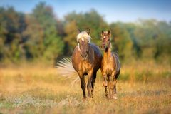 Mare with foal walk. And grazing on autumn field royalty free stock image