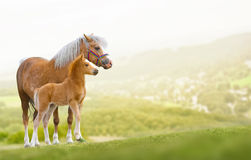 Mare with foal. Welsh ponies mare and foal on nature Royalty Free Stock Photography