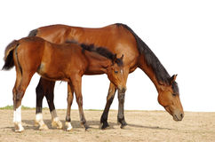 Mare with foal. The mare with a foal on a white background Royalty Free Stock Photo