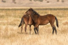 Mare and Foal Wild Horses Royalty Free Stock Photos