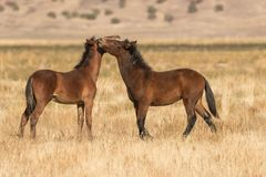 Mare and Foal Wild Horses Interacting Royalty Free Stock Images